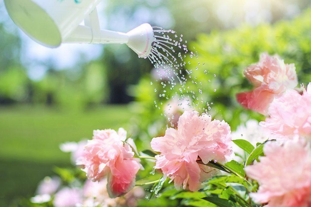 Plantes du jardin arrosées à l'aide d'un arrosoir/